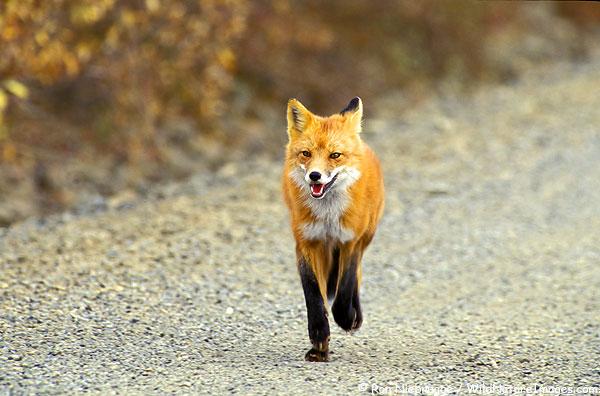Vigyázzunk a kutyáinkra, most vakcinázzák a rókákat