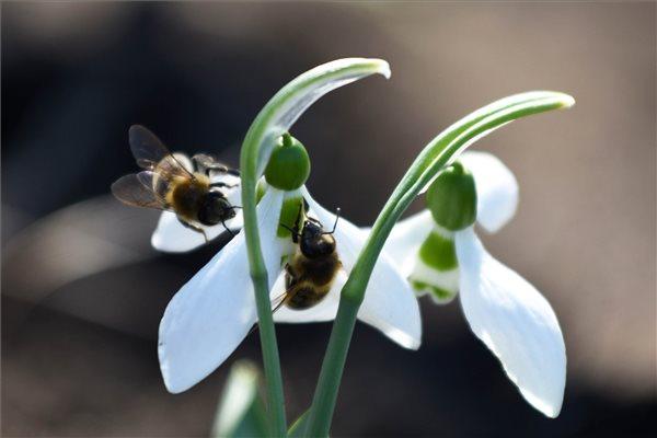 Hóvirág termesztése Jász-Nagykun-Szolnok megyében
