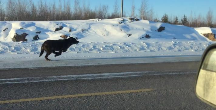 Farkasok rohantak az úton, a kocsija mellett