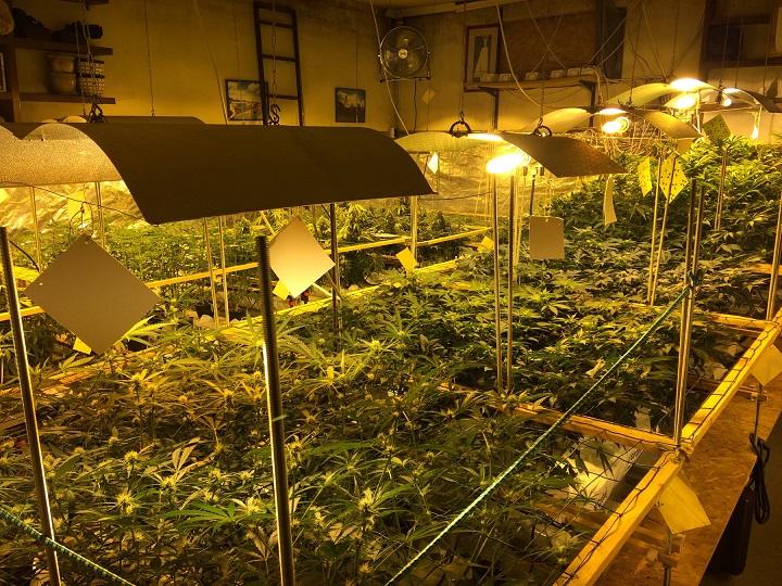 Szolnok belvárosában termesztette a cannabist